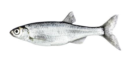 Fish isolated bleak (Alburnus) Stockfoto