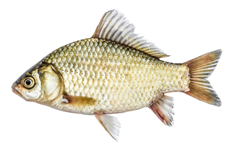 Fish isolated golden crucian with scales