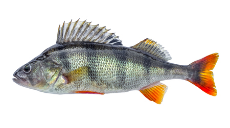 Fish perch with scales, fresh raw isolated