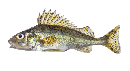 Fish ruff isolated on white background (Gymnocephalus cernuus) Stock Photo