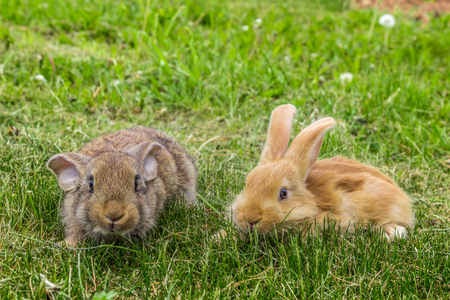 Two rabbits grazing on grass in the field.