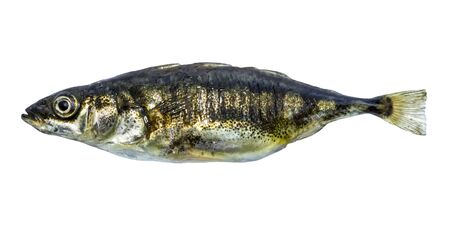Fish stickleback isolated