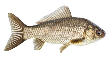 Fish isolated, river crucian carp