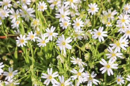 Stellaria holostea flowers Stock Photo