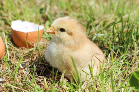 Young chicken on green grass