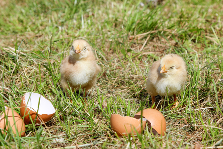 Sleeping newborn chickens around the shell Banco de Imagens