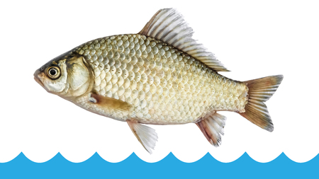 Fish crucian jumping out of the water isolated, white background Stock Photo