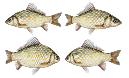 Isolated crucian carp set, a kind of fish from the side. River fish live, with flowing fins. Stock Photo