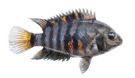 Aquarium fish isolated. Side view. Cichlid, striped zebra