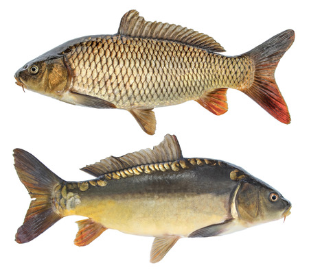 Fish carp. Isolated fish with and without scales