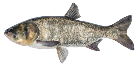 Fish silver carp. Side view bighead carp. Isolated Hypophthalmichthys