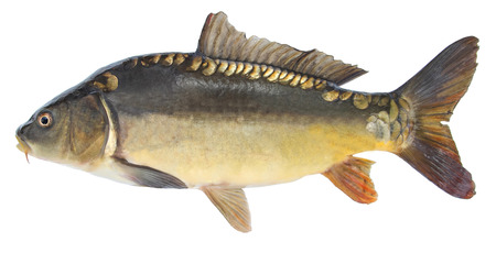 Fish carp. Freshwater fish without scales Banco de Imagens