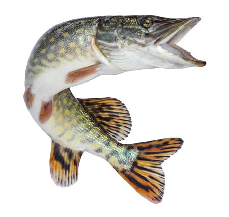 Brochet de poisson isolé. Poisson de rivière vivant d'eau douce avec des écailles Banque d'images