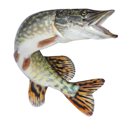 Fish pike isolated. Freshwater alive river fish with scales