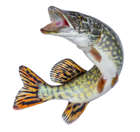 Fish pike. Jumping out of the water. Emblem isolated on a white background