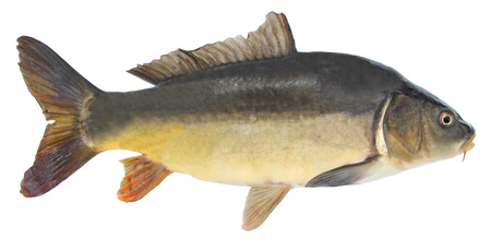 Fish mirror carp. Freshwater fish without scales. Isolated on a white background
