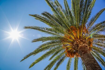 Date palm and sun in sky, view of the palm tree from the bottom up. Glare from the sun, real photo. Imagens