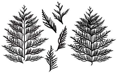 Silhouette von Zweig Thuja, Satz. Zierbaum. Separate Elemente. Vektor-Illustration.