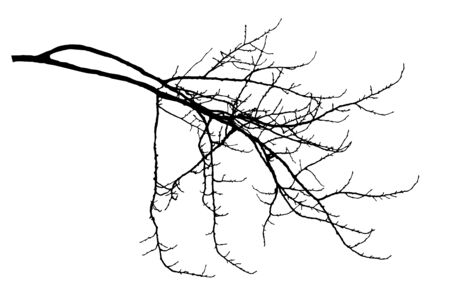 Bare branch of poplar tree with cobs silhouette. Vector illustration.