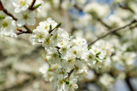 Beautiful flowering plum tree close-up, springtime