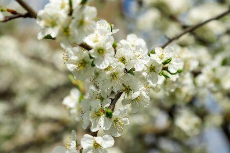 Blooming plum tree in spring, close-up