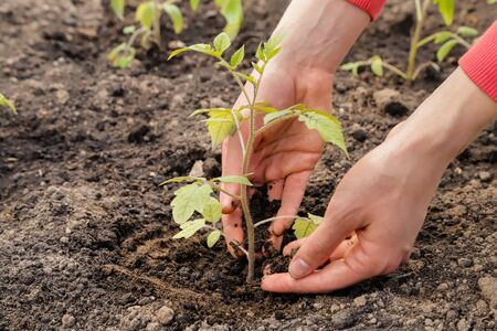 Gardening, woman planted tomato seedlings in the ground with the hands.