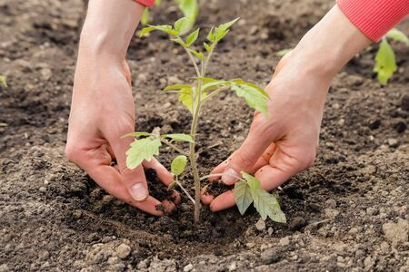 Planting tomato sprout in the ground, gardening. Banco de Imagens