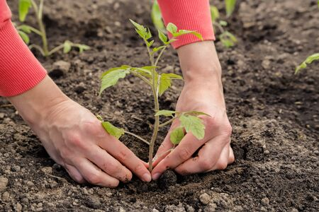 Female hands plant tomato sprout, season of vegetable planting, horticulture.