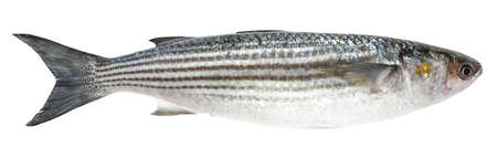 Mullet isolated on white background. Fish (striped mullet)