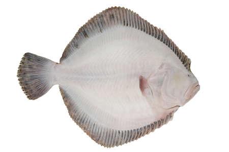 Turbot fish isolated on white background. White side