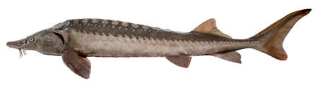 Sturgeon fish isolated on white background Banque d'images