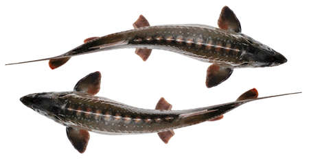 Sturgeon fish isolated on white background. Top view Banque d'images