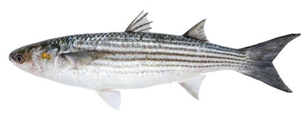 Mullet fish isolated on white background
