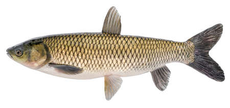 Grass carp fish with scales isolated on white