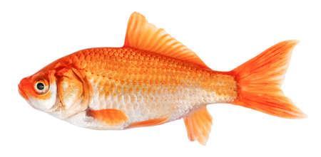 Goldfish isolated on white background. Goldfish side view