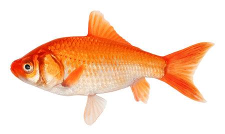 Golden crucian carp fish. Goldfish isolated on white background 写真素材