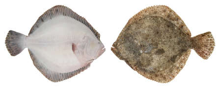 Turbot fish isolated on white background. Bottom fish swims sideways. Photo from both sides
