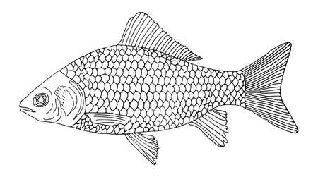 Fish crucian carp hand drawn. Isolated on white background. Outline of fish. Vector illustration.