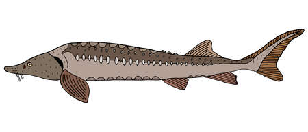 Sturgeon hand drawn. Color fish isolated on white background. Freshwater fish. Vector illustration.