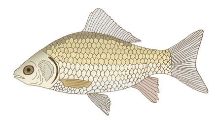 Crucian carp hand drawn colorful. Color fish, isolated on white background, design element. Vector illustration. Illustration