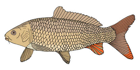 River fish carp with scales hand drawn. Beautiful color fish isolated on white background. Vector illustration. Illustration