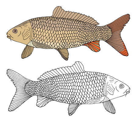 Carp fish isolated, hand drawing. Beautiful river fish with scale in color and black and white. Vector illustration.