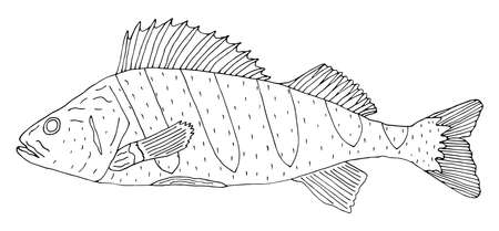 Perch fish hand drawn isolated on white background. Black and white, contour of fish. Coloring page. Vector illustration.