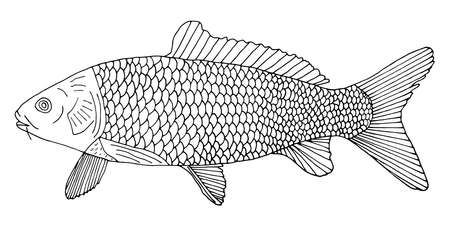 Carp hand drawn. Beautiful river fish with scales isolated on white background. Black and white. Vector illustration. Ilustração
