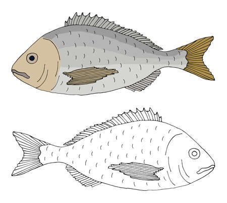 Beautiful fish dorado, hand drawing. Set of fish in color and black and white. Vector illustration.