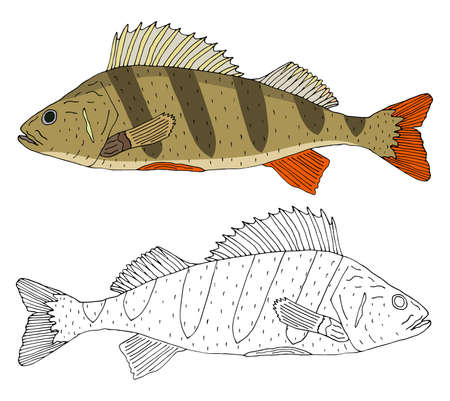 River perch fish isolated, hand drawing. Set of beautiful fish in color and black with white. Vector illustration. Ilustração