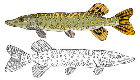 Pike fish isolated, hand drawing. Set of beautiful river fish in color and white and black. Vector illustration. Ilustração