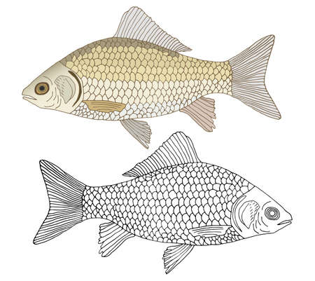 Beautiful river crusian carp with scales, hand drawing. Set of fish in color and black and white, isolated. Vector illustration.