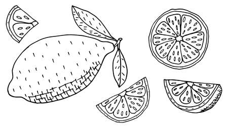 Lemon or lime, whole fruit and slices, hand drawing. Set, isolated. Vector illustration