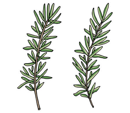 Rosemary branch hand drawn, isolated on white background. Beautiful spice, ingredient for food. Packaging design. Vector illustration.